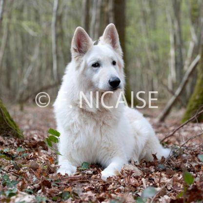 White Swiss Shepherd - 01/2019