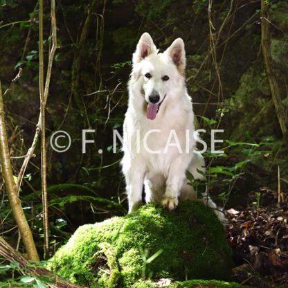 White Swiss Shepherd - 12/2019