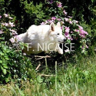 White Swiss Shepherd - 04/2019