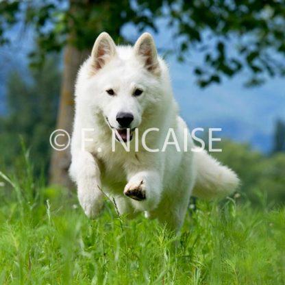 White Swiss Shepherd - 05/2019