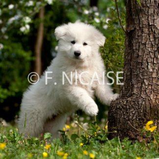 White Swiss Shepherd - 06/2019
