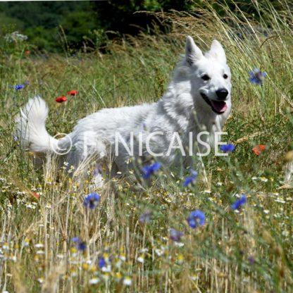 White Swiss Shepherd - 07/2019