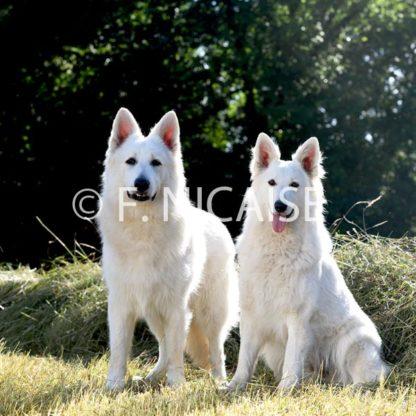 White Swiss Shepherd - 09/2019