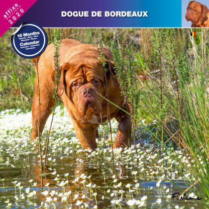 Calendrier Dogue de Bordeaux 2020