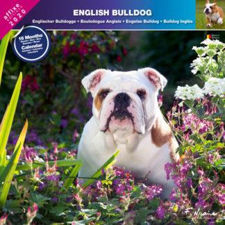 Calendrier English Bulldog 2020