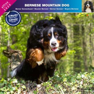 Calendrier Bernese Mountain Dog 2020
